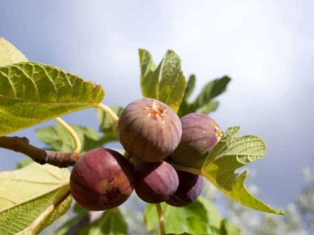 Fertilizing a fig tree - best practices and guidelines.