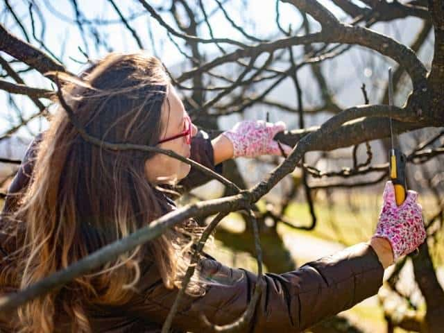How to correctly prune a fig tree.