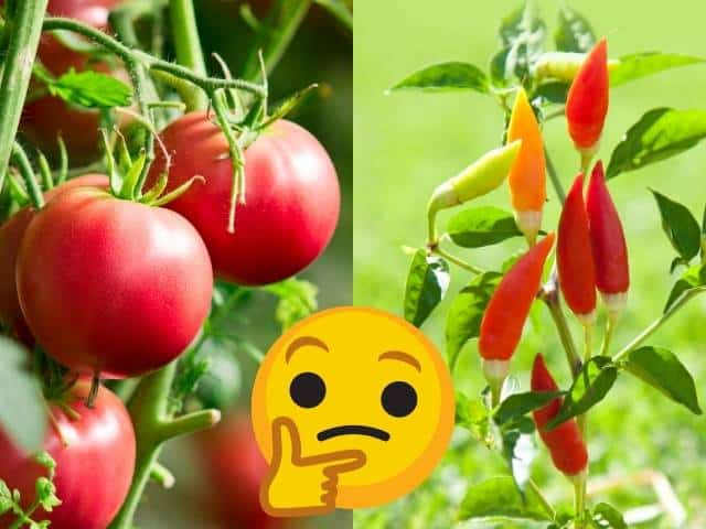 Tips and cautions when growing tomato and pepper plants together.