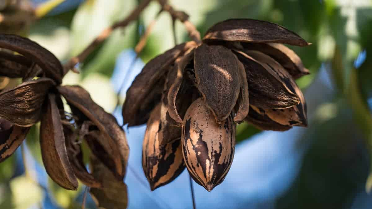 Getting an old pecan tree to produce.
