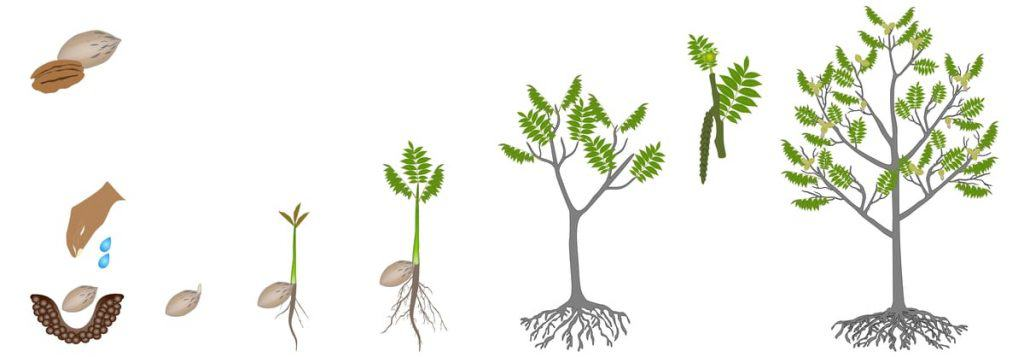 Illustration of pecan tree stages of growth from seed to full sized.