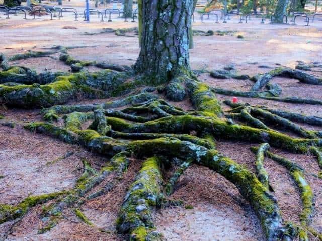 Understanding invasive nature of pine tree roots.