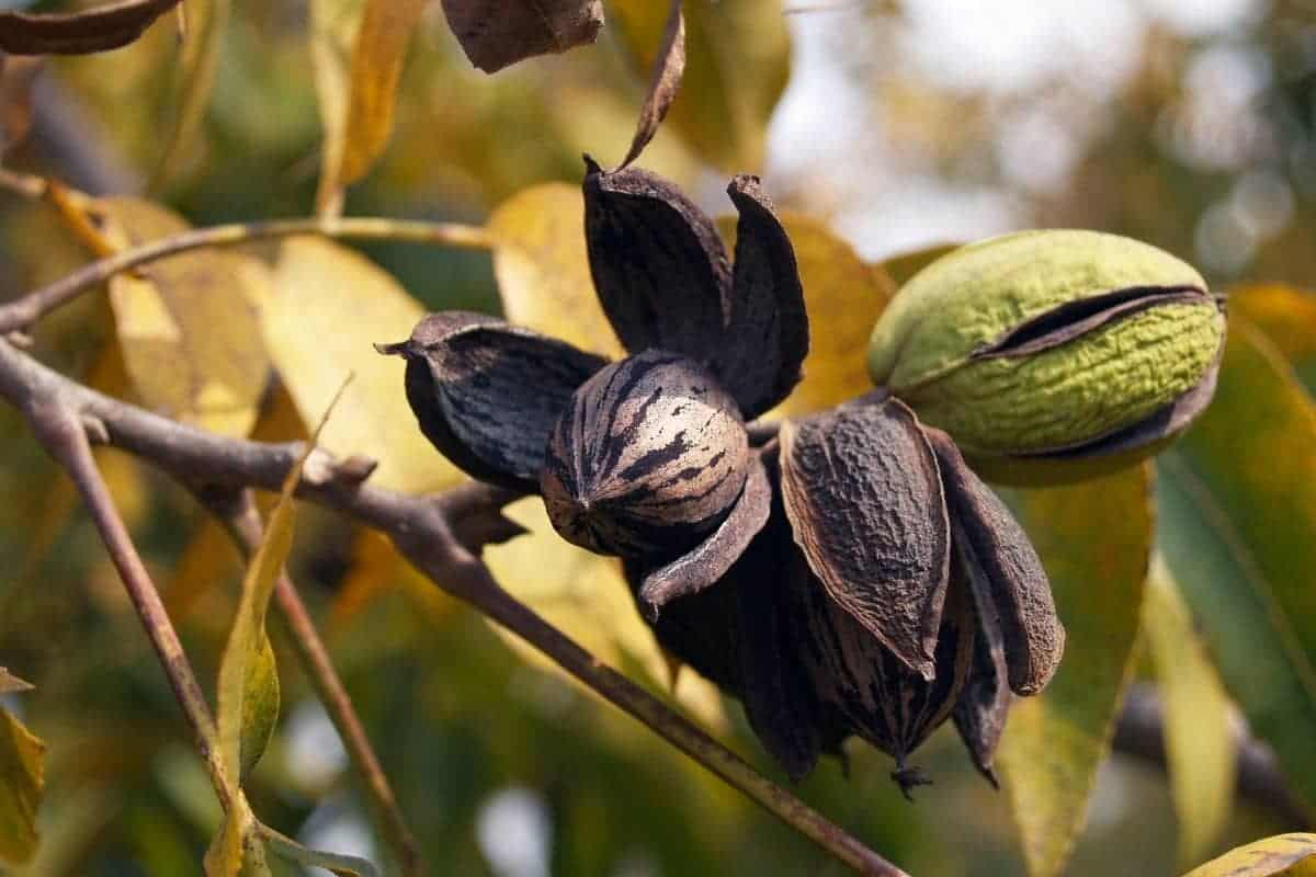 Here's How To Grow Pecan Trees From Cuttings