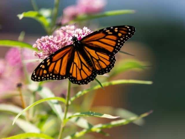 Planting companion plants that attract butterflies not only aides in the pollination process but also adds to the ambiance of the setting.