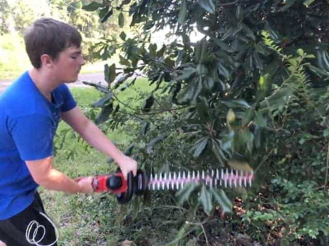 Trimming away magnolia tree overhang with Powerworks hedge trimmer.