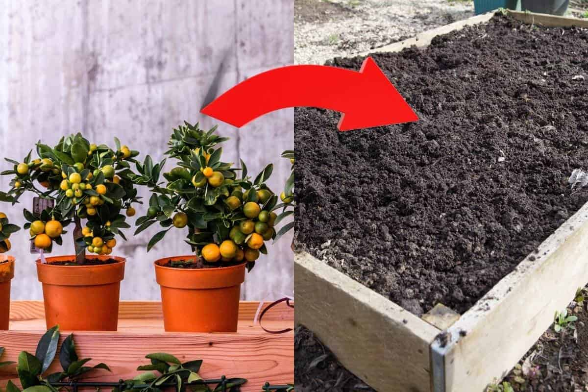 How to grow fruit trees in raised beds.