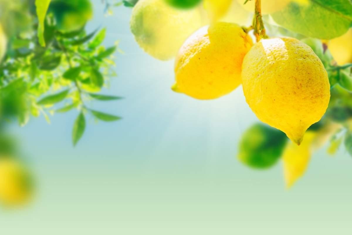 Best companion plants for lemon trees.