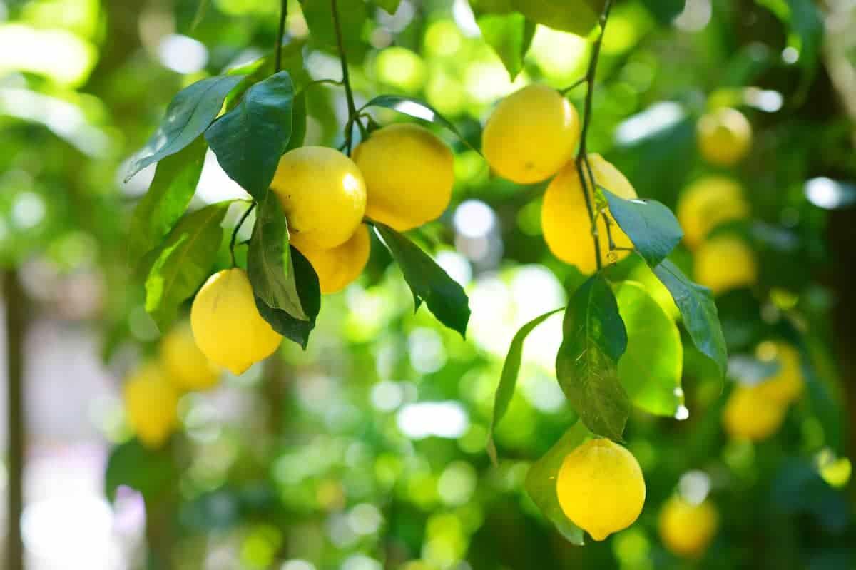 Growing lemon trees in Zone 6