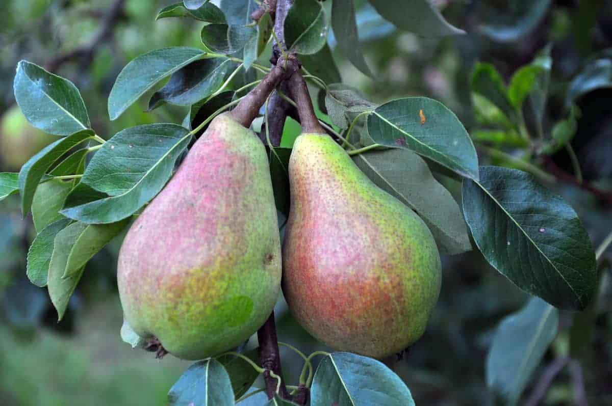 Best pear tree companion plants.