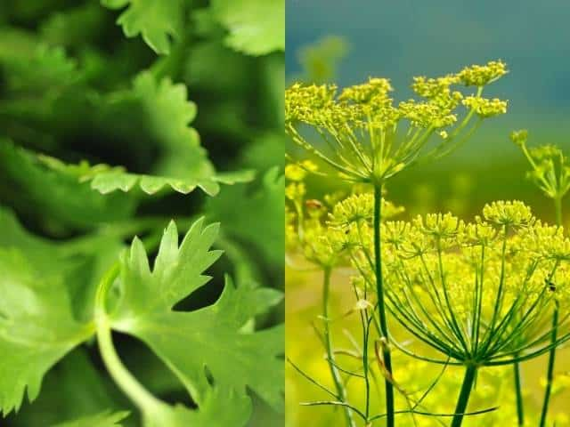 Companion plants such as cilantro and fennel are known to repel pests and can help to prevent infestations in your lemon tree.