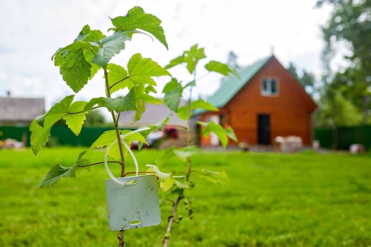 Why and how to plant fruit trees on mounds.