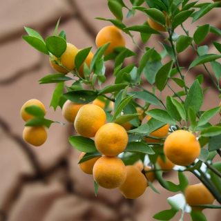 Will fruit trees grow in clay soil?