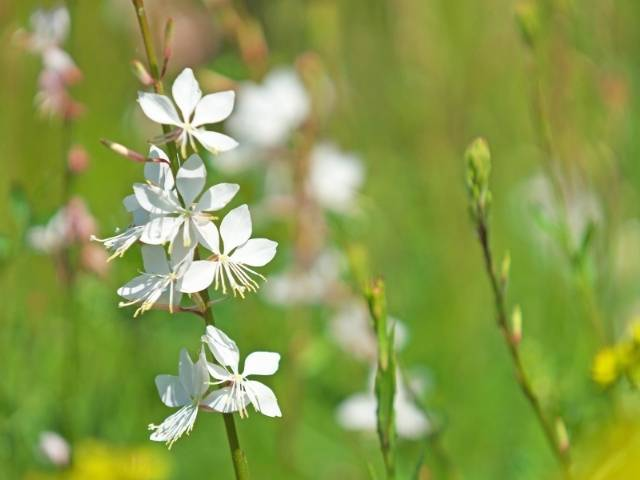 Growing up to 3 feet, Gaura is a flowering perennial.
