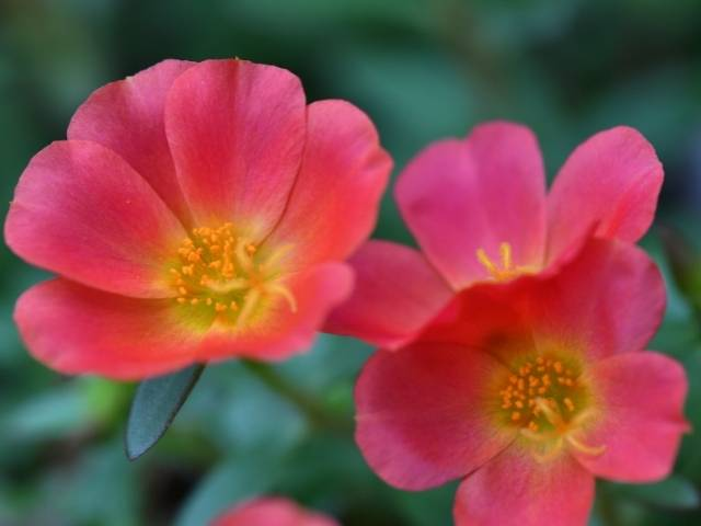 Portulaca blooms from spring to frost and comes in a variety of bright colors.