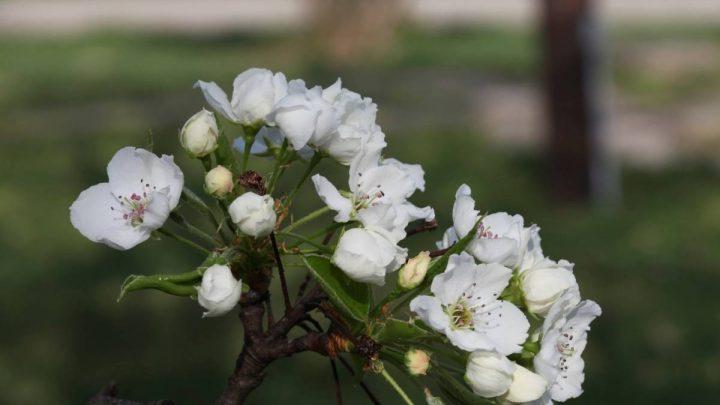 Transplanting Bradford Pear Trees: Best Practices & Tips
